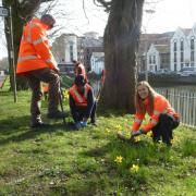 Business volunteers planting snowdrops